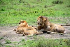 Leones en orgullo de la familia en día caliente en serengeti africano Fotografía de archivo libre de regalías