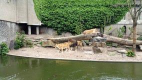 Leones en parque zoológico Fotografía de archivo libre de regalías
