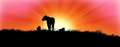 Leones en puesta del sol Imagen de archivo