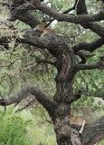 Leones en un árbol Fotos de archivo