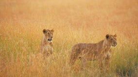 Leones femeninos en Masai Mara metrajes
