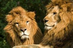 Leones gemelos que toman el sol imagen de archivo