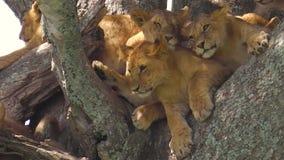 Leones jovenes de Serengeti almacen de metraje de vídeo