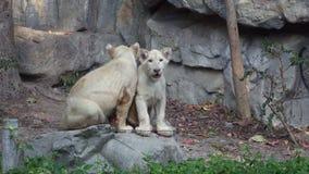Leones jovenes divertidos en el parque zoológico almacen de video