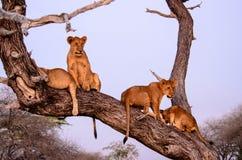 Leones jovenes en un árbol Fotos de archivo