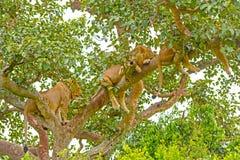 Leones jovenes que descansan en un árbol Foto de archivo libre de regalías