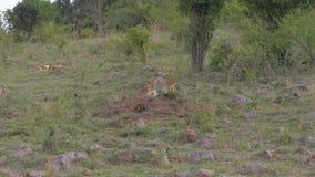 Leones jovenes que descansan la mentira en la hierba cerca de los arbustos de la sabana africana almacen de metraje de vídeo