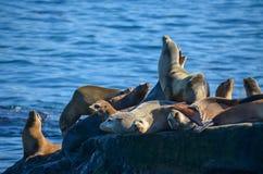 Leones marinos Fotos de archivo libres de regalías