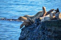 Leones marinos Fotos de archivo