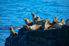 Leones marinos Imagen de archivo