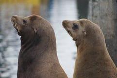 Leones marinos Imagen de archivo libre de regalías