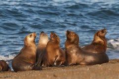 Leones marinos Imagenes de archivo
