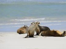 Leones marinos australianos, bahía del sello, isla del canguro Fotos de archivo libres de regalías
