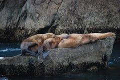 Leones marinos de Alaska Fotos de archivo