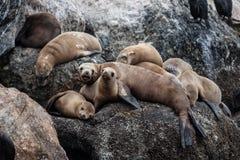 Leones marinos de California Foto de archivo libre de regalías