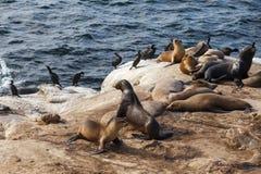 Leones marinos de California Fotografía de archivo libre de regalías