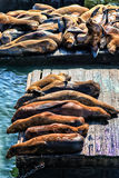Leones marinos de California (californianus del Zalophus) en el embarcadero 39, Fisher fotos de archivo libres de regalías