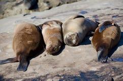 Leones marinos de California que sueñan despierto fotografía de archivo libre de regalías