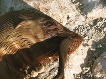Leones marinos de las Islas Galápagos Imágenes de archivo libres de regalías