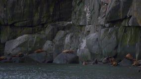 Leones marinos de Steller almacen de video