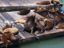 Leones marinos del embarcadero 39 Foto de archivo