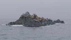 Leones marinos del grupo en el acantilado rocoso y los pájaros que vuelan sobre el agua del océano metrajes