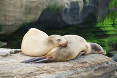 Leones marinos el dormir fotos de archivo