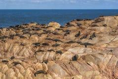 Leones marinos en Cabo Polonio Imagen de archivo libre de regalías