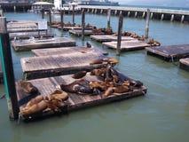 Leones marinos en el embarcadero 39 Imagenes de archivo