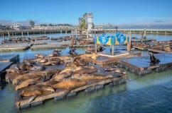 Leones marinos en el panorama del embarcadero 39 Imagenes de archivo