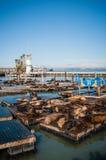 Leones marinos en el panorama del embarcadero 39 Fotografía de archivo libre de regalías