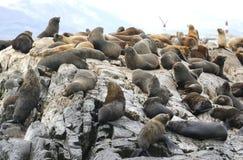 Leones marinos en la isla de los leones marinos en canal del beagle Fotografía de archivo libre de regalías