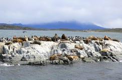Leones marinos en la isla de los leones marinos en canal del beagle Imágenes de archivo libres de regalías