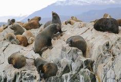 Leones marinos en la isla de los leones marinos en canal del beagle Foto de archivo libre de regalías