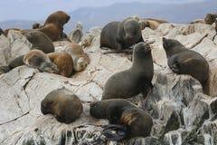 Leones marinos en la isla de los leones marinos en el canal del beagle, la Argentina Fotografía de archivo libre de regalías