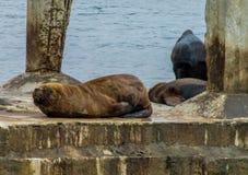 Leones marinos en la playa de la ciudad Fotografía de archivo libre de regalías