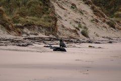 Leones marinos en la playa en la península de Otago, isla del sur, Nueva Zelanda fotografía de archivo libre de regalías