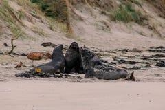 Leones marinos en la playa en la península de Otago, isla del sur, Nueva Zelanda fotos de archivo
