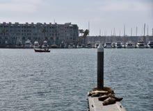 Leones marinos en Marina Del Rey Harbor Fotografía de archivo