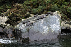 Leones marinos en Milford Sound Fotografía de archivo libre de regalías