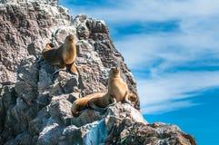 Leones marinos en Puerto Deseado, Patagonia, la Argentina Imagen de archivo