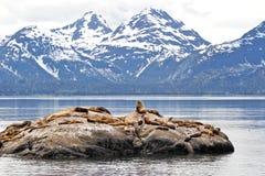 Leones marinos en roca con las montañas Foto de archivo