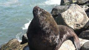 Leones marinos en un lado de la playa almacen de metraje de vídeo