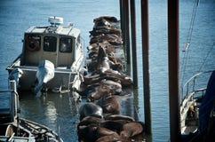 Leones marinos en un muelle Imagenes de archivo