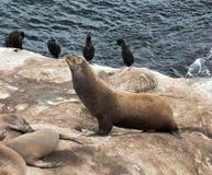 Leones marinos en una roca Imagenes de archivo