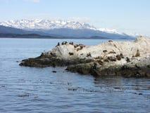 Leones marinos en una roca - Ushuaia Fotos de archivo libres de regalías