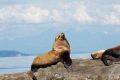 Leones marinos estelares canadienses que se sientan en una roca Imágenes de archivo libres de regalías