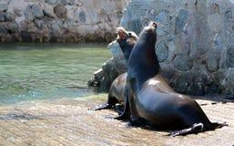 Leones marinos masculinos de California que luchan y que se muerden en el lanzamiento del barco del puerto deportivo en Cabo San  fotografía de archivo libre de regalías