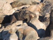 Leones marinos patagones Fotos de archivo