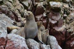 Leones marinos, península Valdes, Perú Foto de archivo